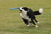 Dog Has Almost Caught Flying disc.
