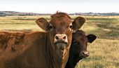 stock photo of calf cow  - A Cow and her calf - JPG