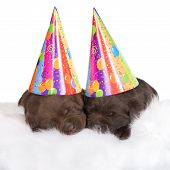 two adorable puppies in birthday hats