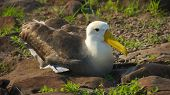 Albatross in Galapagos Islands