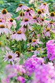 Beautiful flowerbed with aphlox and echinacea