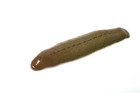 foto of hermaphrodite  - Leech isolated on white background - JPG