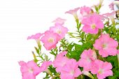 picture of petunia  - Colorful pink petunia isolated on white background - JPG
