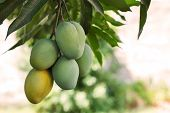 Bunch Of Green And Ripe Mango On Tree In Garden