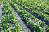 picture of strawberry plant  - closeup of strawberry plants in growth at field - JPG