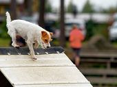 pic of jack russell terrier  - Parson Jack Russel Terrier in agility competition an exiting dog sports event - JPG