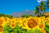 Beautiful Blooming Field Of Sunflower Background With Blue Sky, Palm Trees And Mountains In India, C