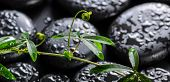 Beautiful Spa Concept Of Green Twig Passionflower With Tendril On Zen Basalt Stones With Dew, Panora
