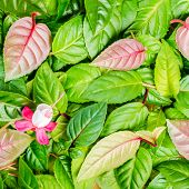 Background Of Green Leaves And Red, White Fuchsia Flower, Closeup