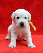 A Nice Labrador Puppy Sitting On Red Background