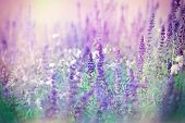 stock photo of purple white  - Purple flowers in meadow and white flowers - JPG