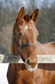 Purebred Racehorse Looking Over Winter Corral Fence