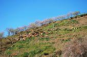 Goats on hillside, Spain.