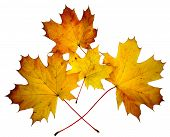 Yellow Maple Autumn Leaves On White Background