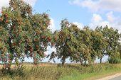 European Rowan At A Country Road