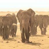 stock photo of elephant ear  - Herd of african elephants walking in savanna - JPG