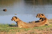 stock photo of adolescent  - A Family of three adolescent cheetahs next to a waterhole in Hwange national park - JPG