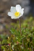 pic of stamen  - flower with white petals and yellow stamens - JPG