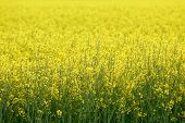 stock photo of biodiesel  - Huge field of GMO rapeseed for production of biodiesel - JPG