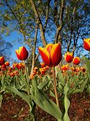 pic of luka  - A beautiful garden display of red and yellow variegated tulips in the springtime with a background of trees and vibrant blue sky.