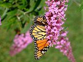 Monarch on Purple Flowers