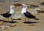 foto of greater  - Greater Black backed Gull on the beach - JPG