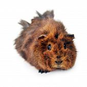 stock photo of guinea pig  - cute guinea pig isolated on white background - JPG