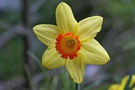 pic of daffodils  - Daffodils closeup - JPG