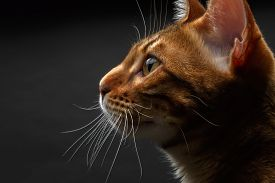 picture of tabby-cat  - closeup bengal cat profile view on black background - JPG