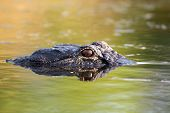 picture of bayou  - American alligator mostly submerged in the shallow water of a Florida wetland - JPG