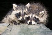 stock photo of raccoon  - Two cute baby raccoons on a wooden deck at night - JPG