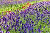stock photo of purple rose  - Summery flower bed with lavender and roses in pink and purple colours - JPG