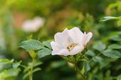 picture of rose bud  - Rose branch with white buds - JPG