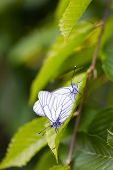 picture of mating  - Beautiful wild colorful butterflies mating on plant. Insect macro.