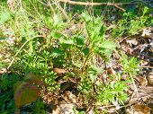 picture of sting  - Stinging young green nettle in forest or garden - JPG