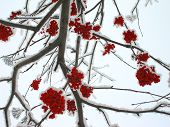 Winter mountain ash