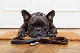 picture of bulldog  - french bulldog dog waiting and begging to go for a walk with owner sitting or lying on doormat - JPG