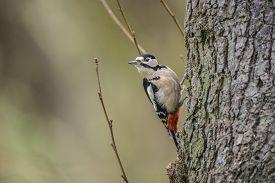 picture of woodpecker  - Great spotted Woodpecker - JPG