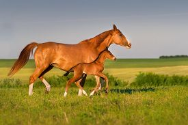 image of colt  - Mare run with colt in beautiful field at sunrise - JPG
