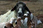 picture of suffolk sheep  - Nubian goat kids gathering around Suffolk ram sheep - JPG