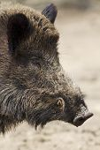 picture of wild hog  - wild hog with big teeth from profile - JPG