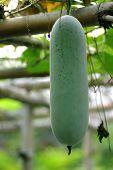 Fresh Green Gourd