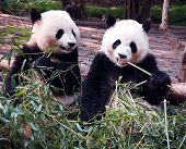 stock photo of zoo animals  - Panda in Chengdu Research Base of Giant Panda Breedingwest of China - JPG