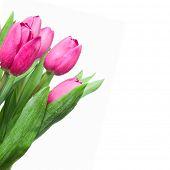 Постер, плакат: макро розовых тюльпанов изолированные на белом