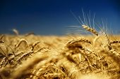 gold wheat and blue sky