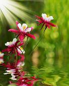 Aquilegia caerulea flower