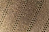 Aerial View Of Wheat Field And Tracks From Tractor. Beautiful Agricultural Texture Or Background Of  poster