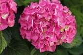 Hortense, A Pink Blooming Hydrangea Bush. House Plants. poster