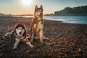 Beautiful Couple Siberian Husky Dogs Sits On Shore Against Background Calm River In Warm Evening Lig poster