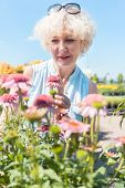 Portrait of a serene senior woman with an active lifestyle looking at pink flowers while standing in poster